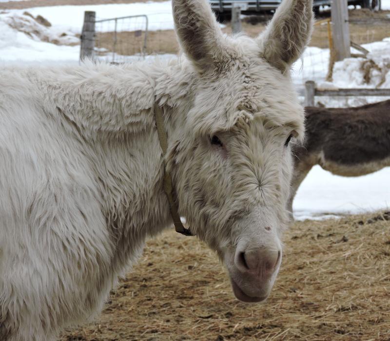 Peanut donkey