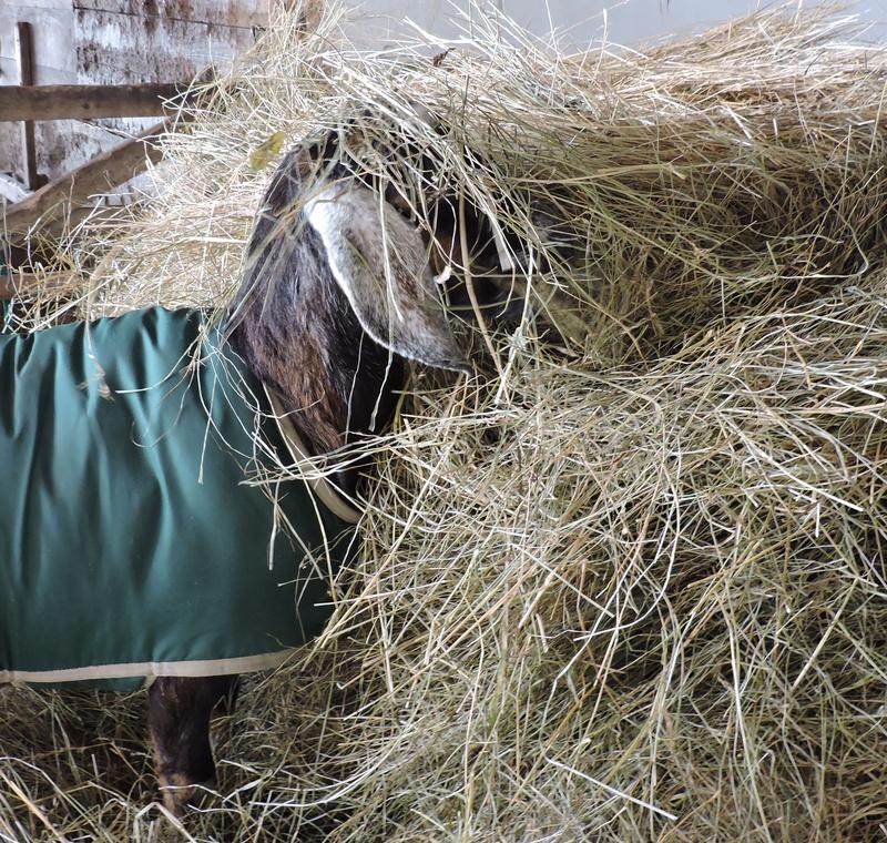 Bernice goat having a snack