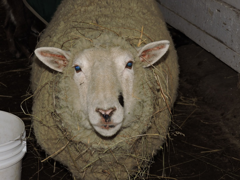 Kitty Lamont the sheep