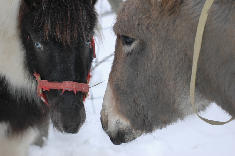 Baby Takota miniature horse and baby Oliver donkey
